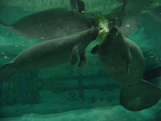 The aquarium south florida museum Manatee aquarium
