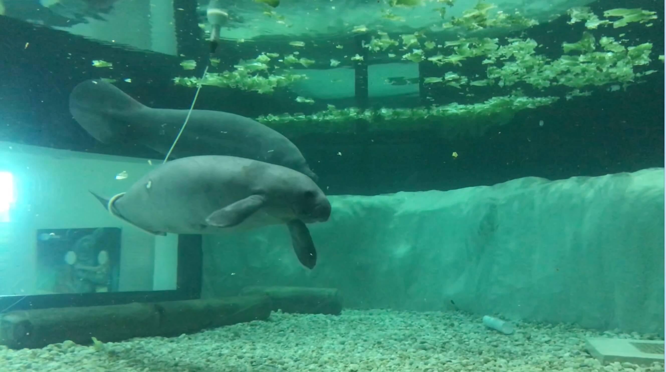 Love Manatees? Join Us for Manatee Appreciation Day!