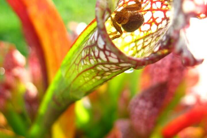 think + drink / science: Carnivorous Plants