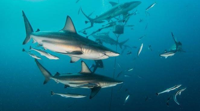 think + drink / science: Blacktip Sharks in Southeast Florida
